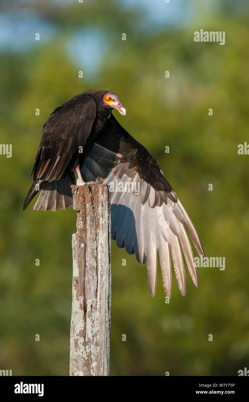 Lesser yellow-headed vulture (Cathartes burrovianus ) stretching wings, Ibera Marshes, Corrientes Province, Argentina. Stock Photo