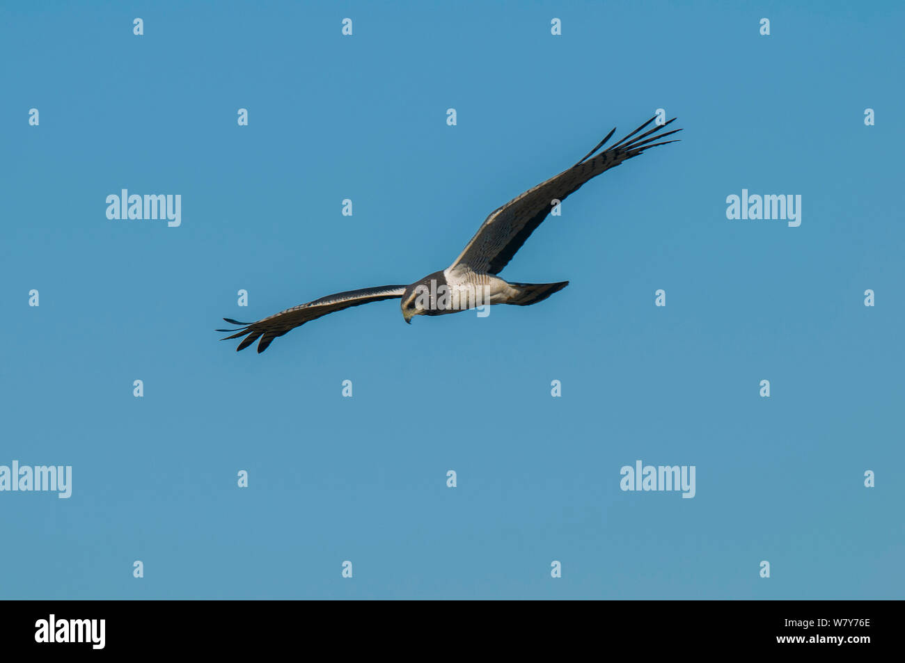 Long-winged harrier (Circus Buffoni) in flight, Ibera Marshes, Corrientes Province, Argentina Stock Photo