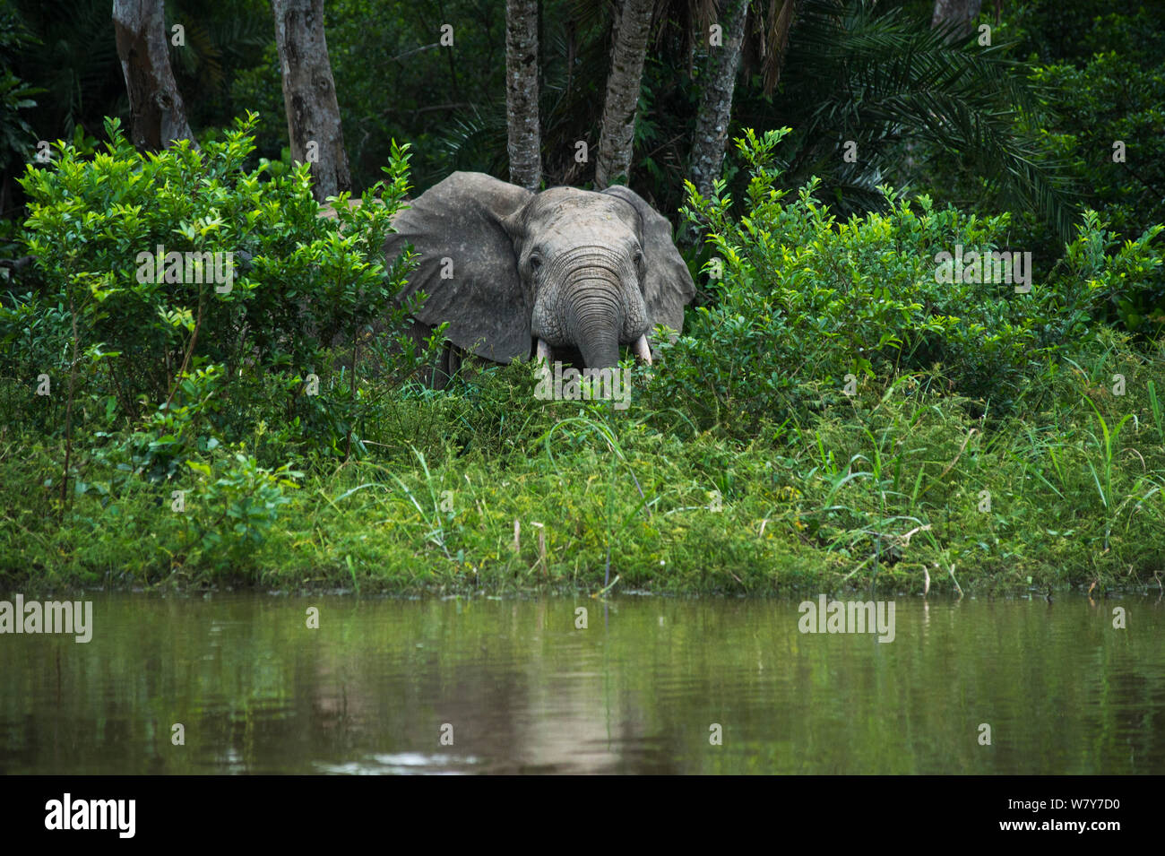 African forest elephant (Loxodonta cyclotis) at edge of water. Lekoli River, Republic of Congo (Congo-Brazzaville), Africa. Vulnerable species. Stock Photo