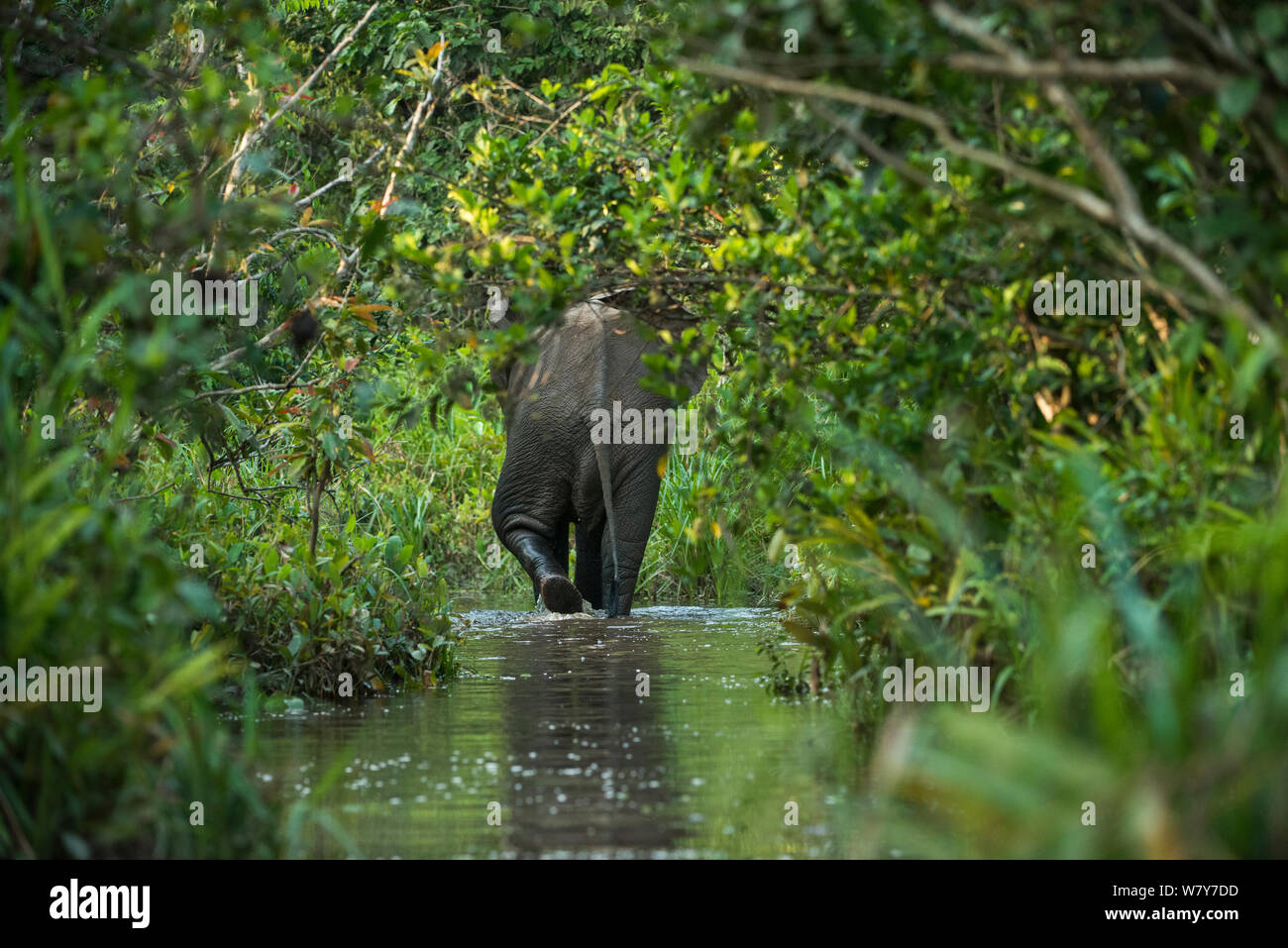 African forest elephant (Loxodonta cyclotis) Lekoli River, Republic of Congo (Congo-Brazzaville), Africa. Vulnerable species. Stock Photo