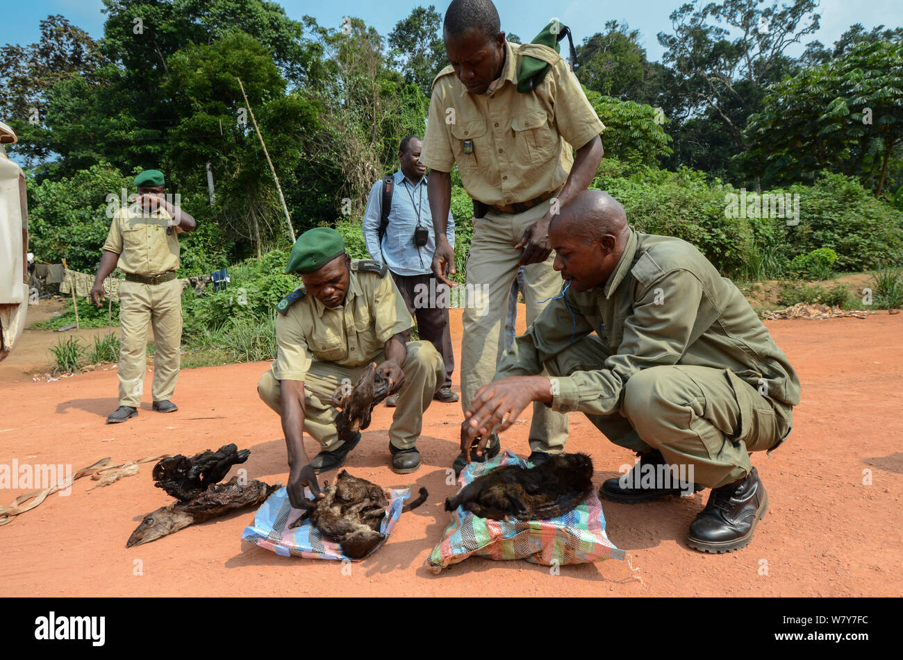Guards with confiscated bushmeat including carcasses of duiker and monkey. Yengo Eco Guard control point, Odzala-Kokoua National Park. Republic of Congo (Congo-Brazzaville), Africa, June 2013. Stock Photo