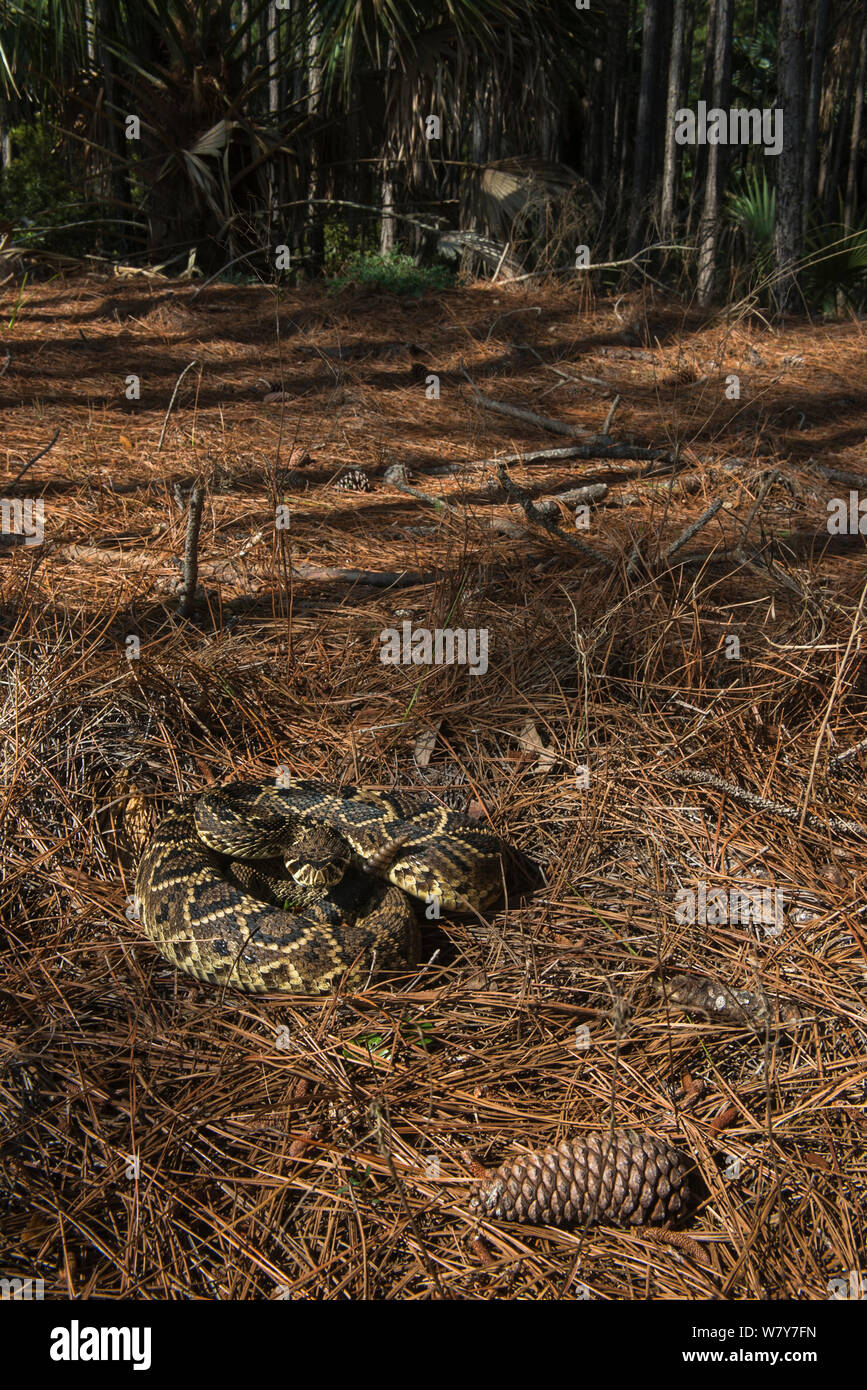Eastern diamondback rattlesnake (Crotalus adamanteus) Little St Simon's Island, Barrier Islands, Georgia, USA, March. Stock Photo