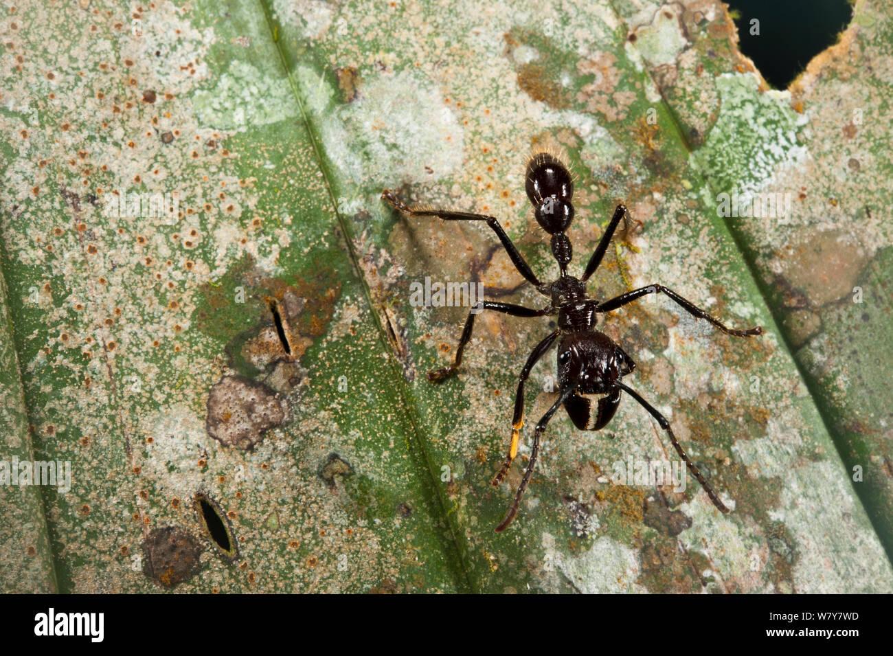 Conga Ant (Paraponera clavata) Yasuni National Park, Amazon Rainforest, Ecuador, South America. Stock Photo