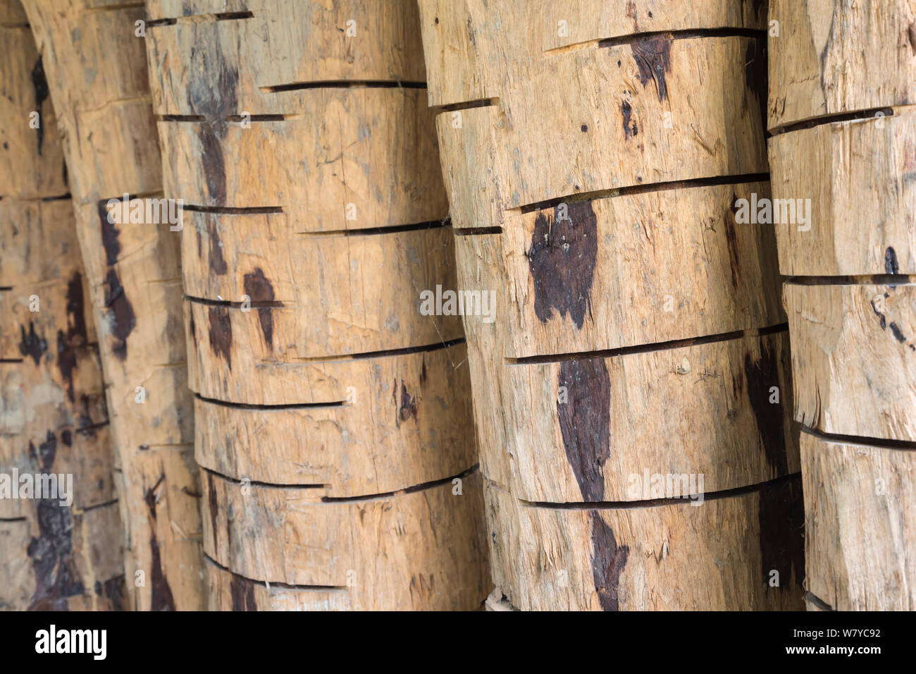 Confiscated Siam rosewood tree (Dalbergia cochinchinensi) wood, showing poachers' cuts to aid debarking, Thap Lan National Park, Dong Phayayen-Khao Yai Forest Complex, eastern Thailand, August. Stock Photo