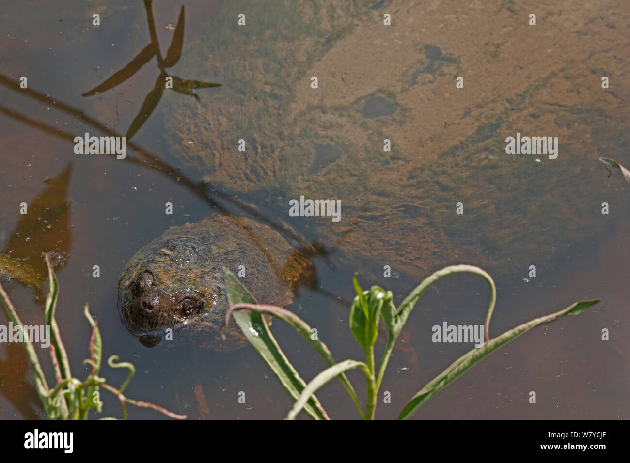 Snapping turtle (Chelydra serpentina) breathing at surface, covered in algae, Virginia, USA. September. Stock Photo