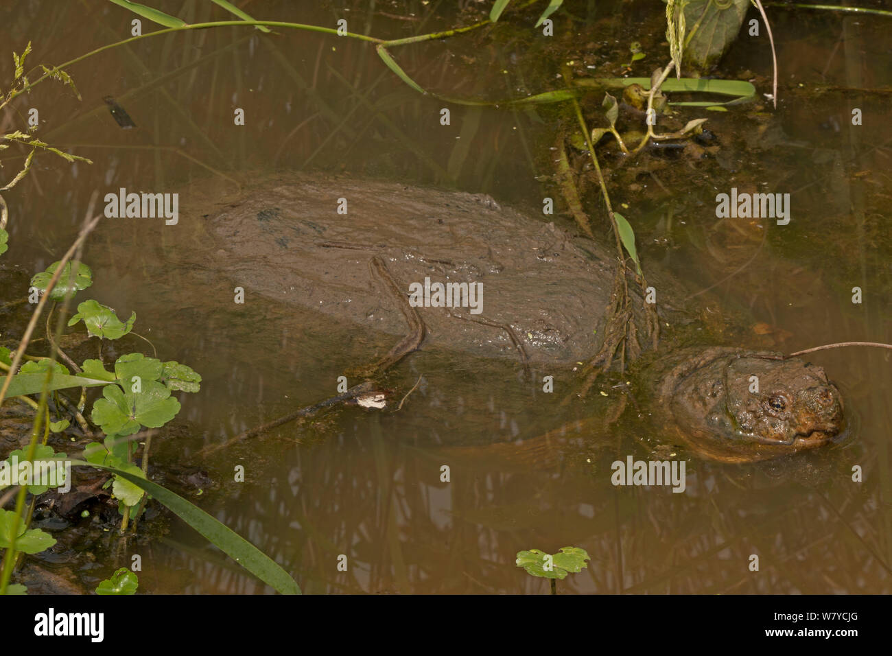 Snapping turtle (Chelydra serpentina) at surface to breath, covered in algae, Virginia, USA. September. Stock Photo