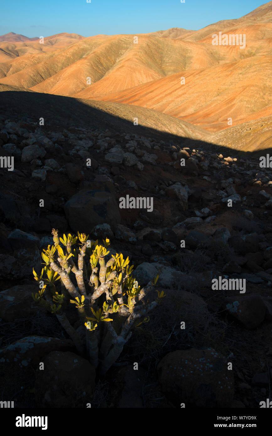 Candle plant (Kleinia neriifolia) Fuerteventura, Canary Islands. April 2013. Stock Photo