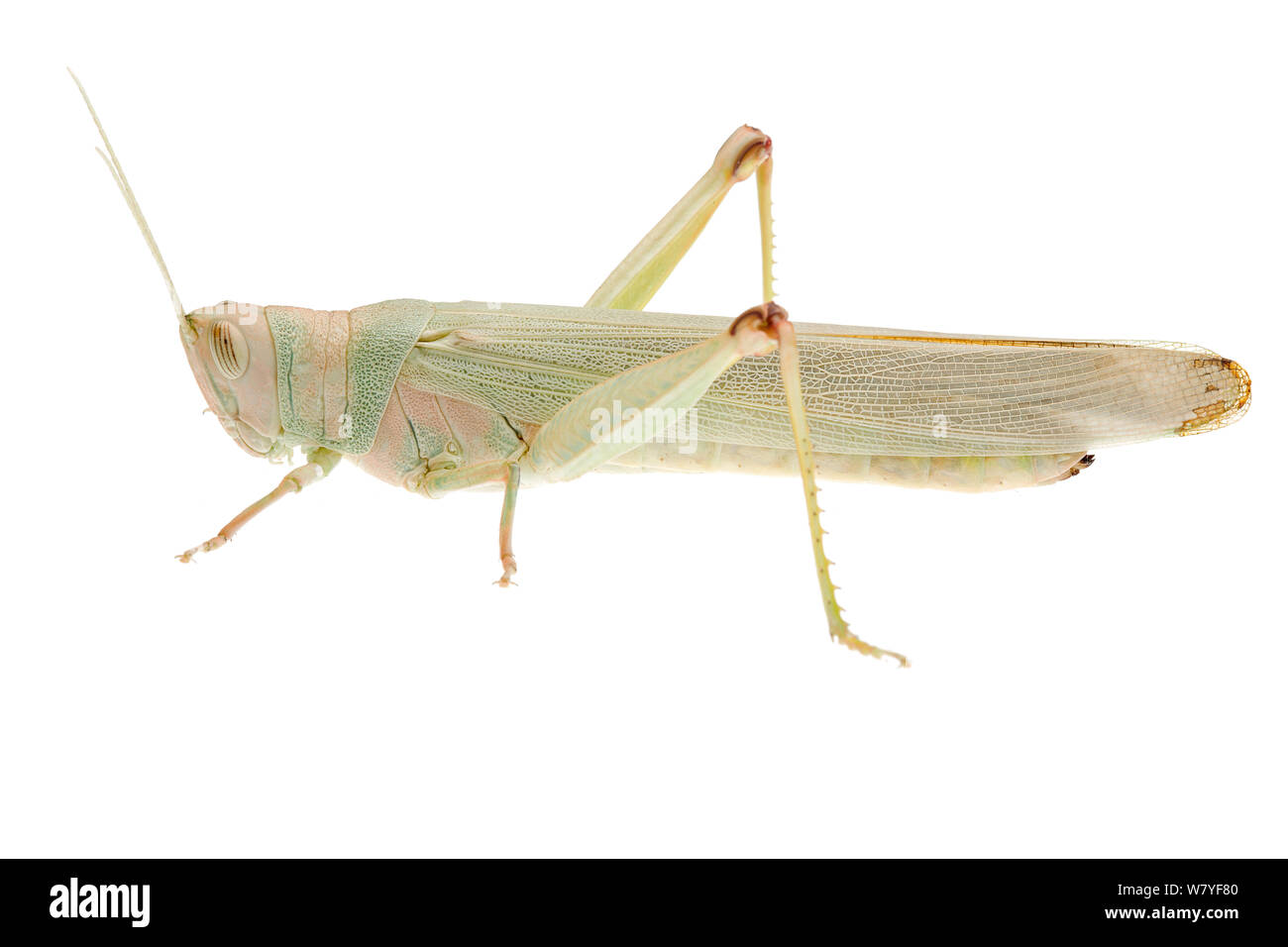 Green grasshopper (Pardillana sp), Denmark Shire, Warren Bioregion, Western Australia. meetyourneighbours.net project Stock Photo
