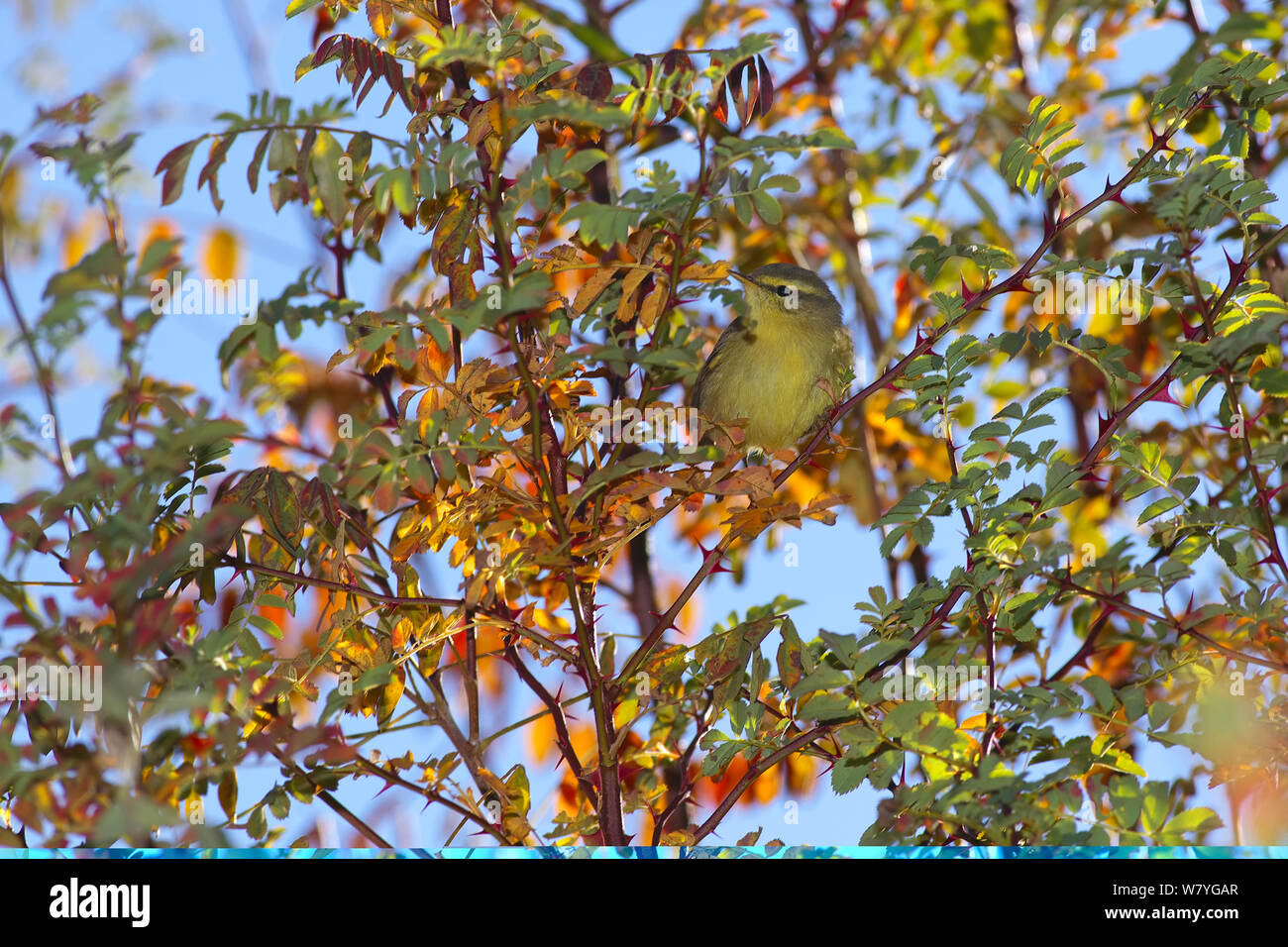 Tickell's leaf warbler (Phylloscopus affinis) perched in autumnal tree, Kawakarpo Mountain, Meri Snow Mountain National Park, Yunnan Province, China, October. Stock Photo