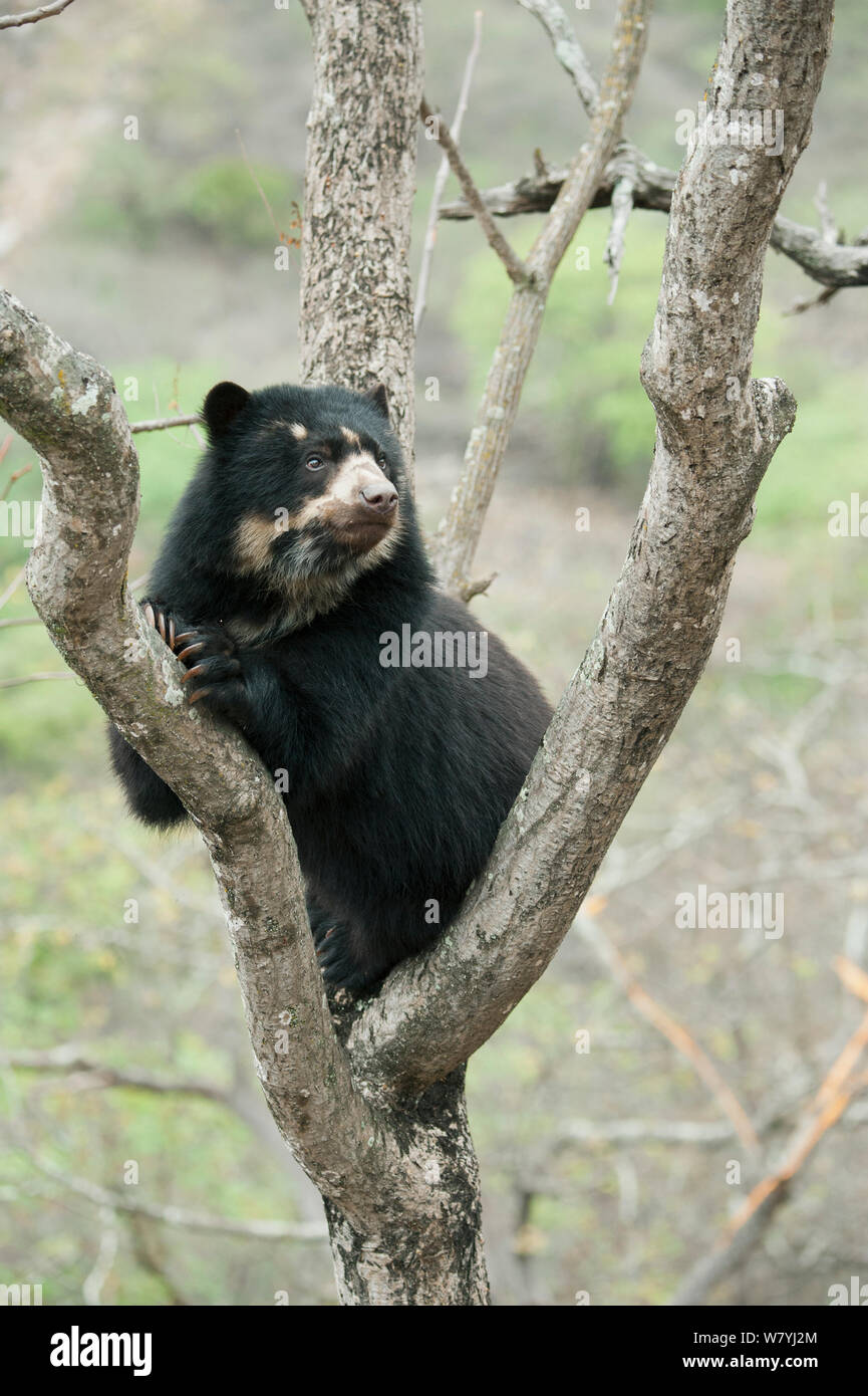 Spectacled Bear (Tremarctos ornatus) female in tree, Chaparri Reserve, Lambayeque Province, Peru Stock Photo