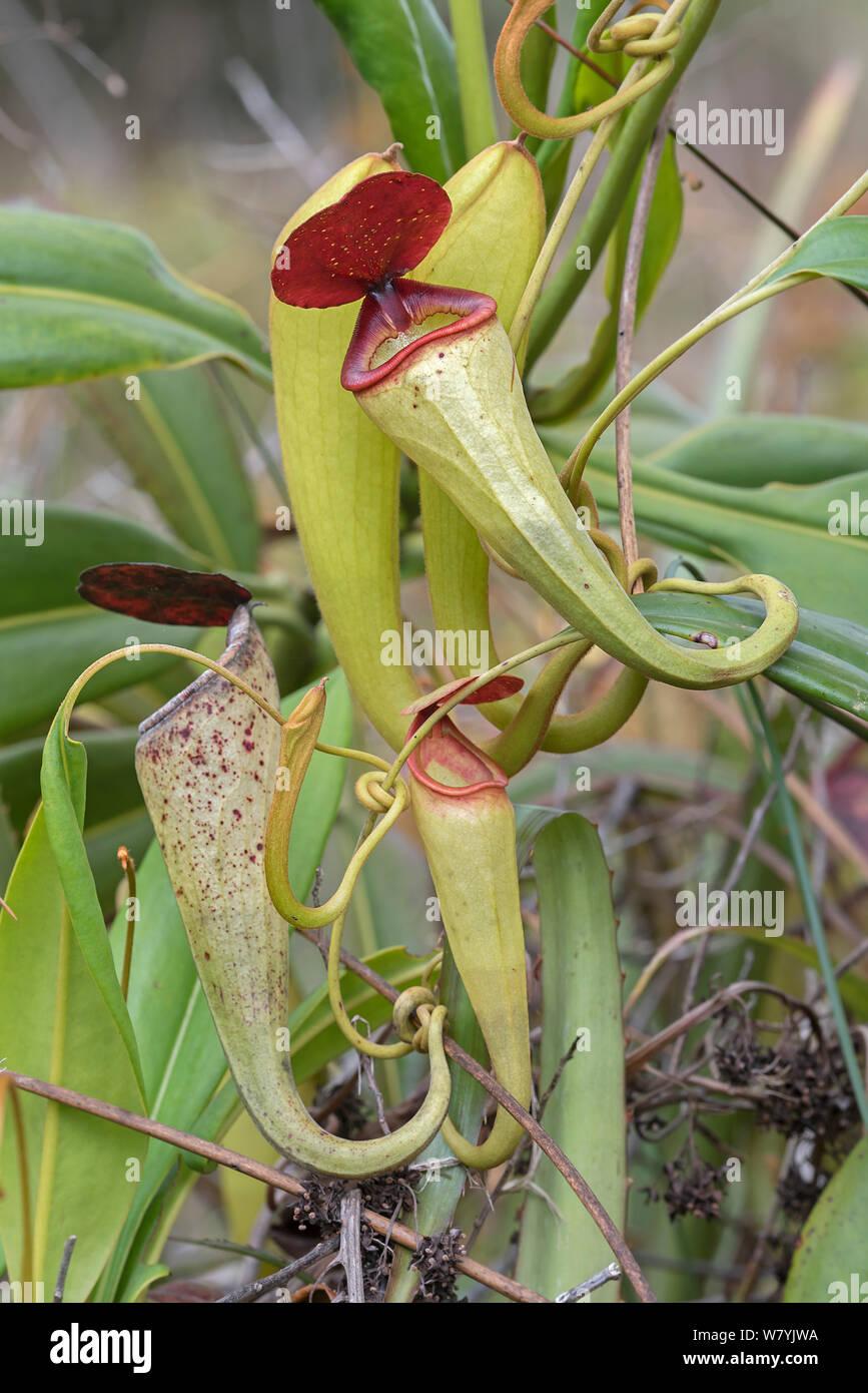 Pitcher plant (Nepenthes Madagascar.iensis),  Manakara, Madagascar. Stock Photo
