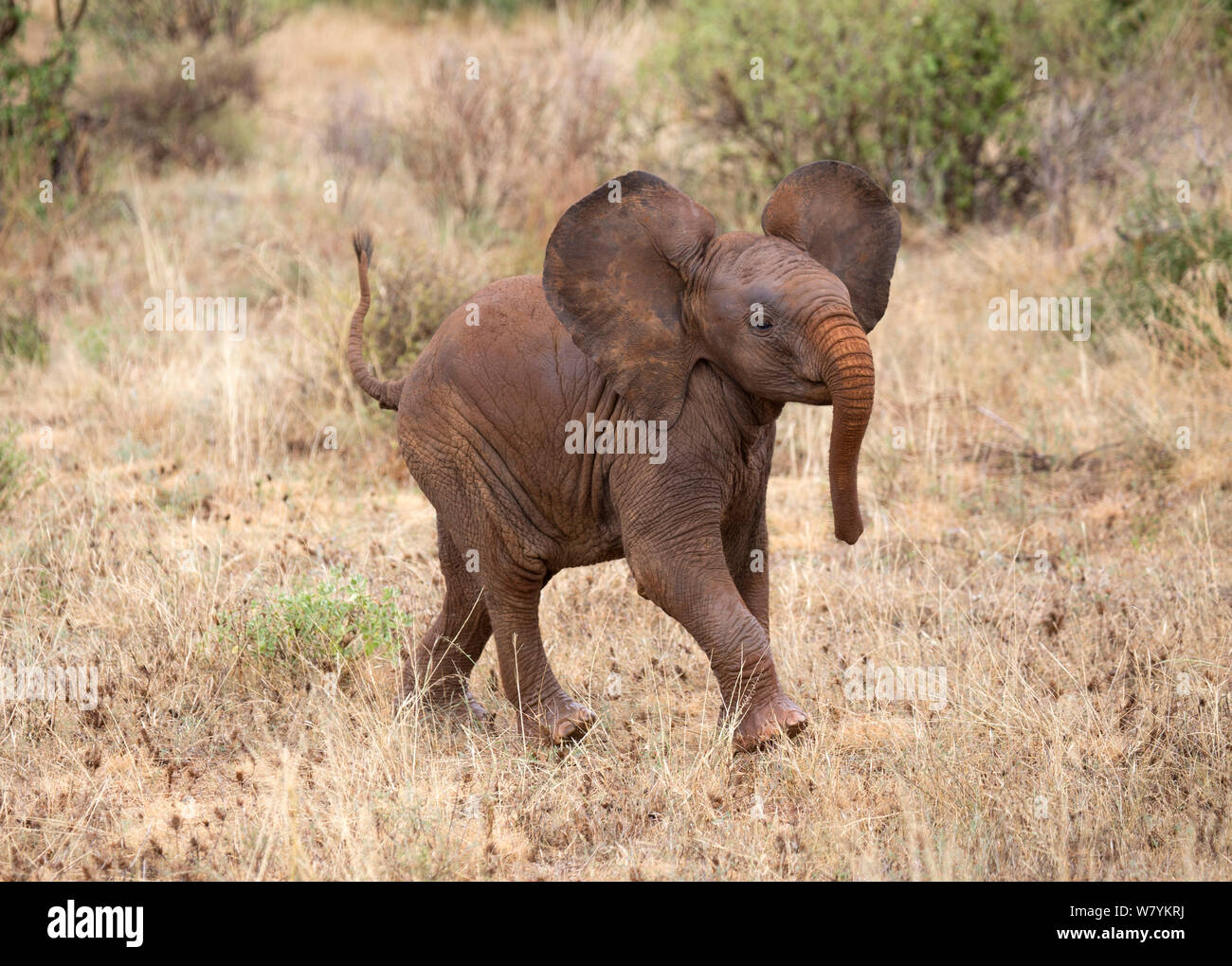Elephant Running Away Stock Photos & Elephant Running Away