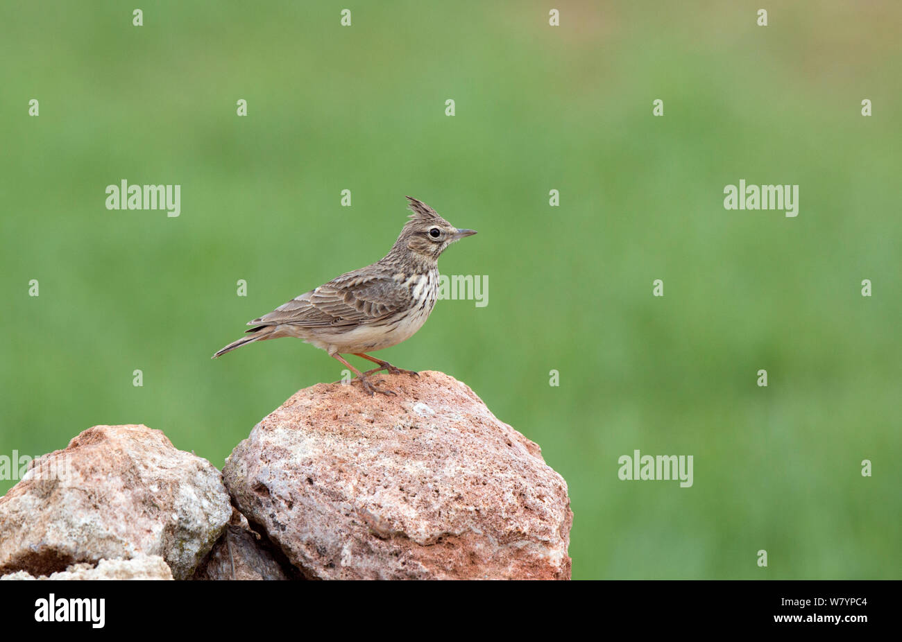 Crested Lark (Galerida cristata) perched on rock, Spain, March. Stock Photo