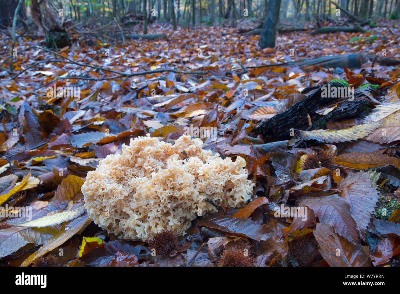 Cauliflower fungus (Sparassis crispa) growing parasitically on the roots of conifer. Norfolk, England, UK. November. Stock Photo