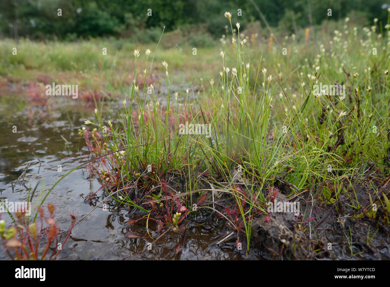 White beak-sedge (Rhynchospora alba) clump flowering in a boggy pool alongside Oblong-leaved sundew clumps (Drosera intermedia) Stoborough Heath, Dorset, UK, July. Stock Photo