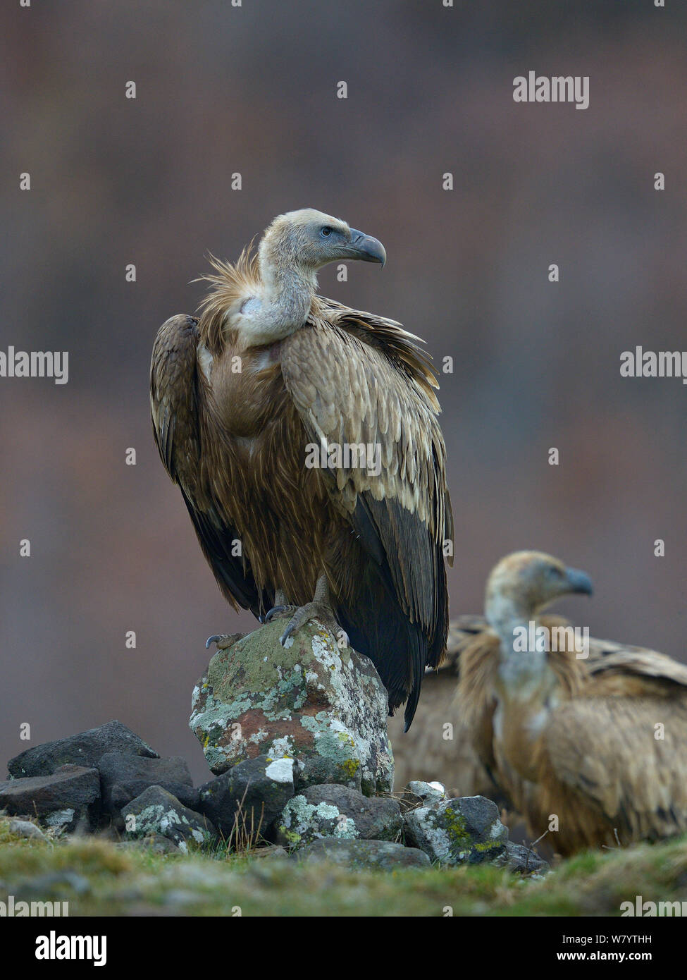 Griffon vulture (Gyps fulvus) perched on rock, Rhodopes, Bulgaria, January. Stock Photo