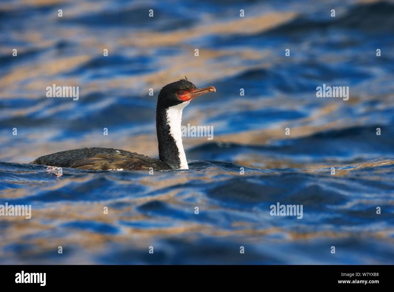 Bounty shag (Phalacrocorax ranfurlyi) swimming near Bounty Island, Sub-Antarctic New Zealand, March. Vulnerable species. Stock Photo