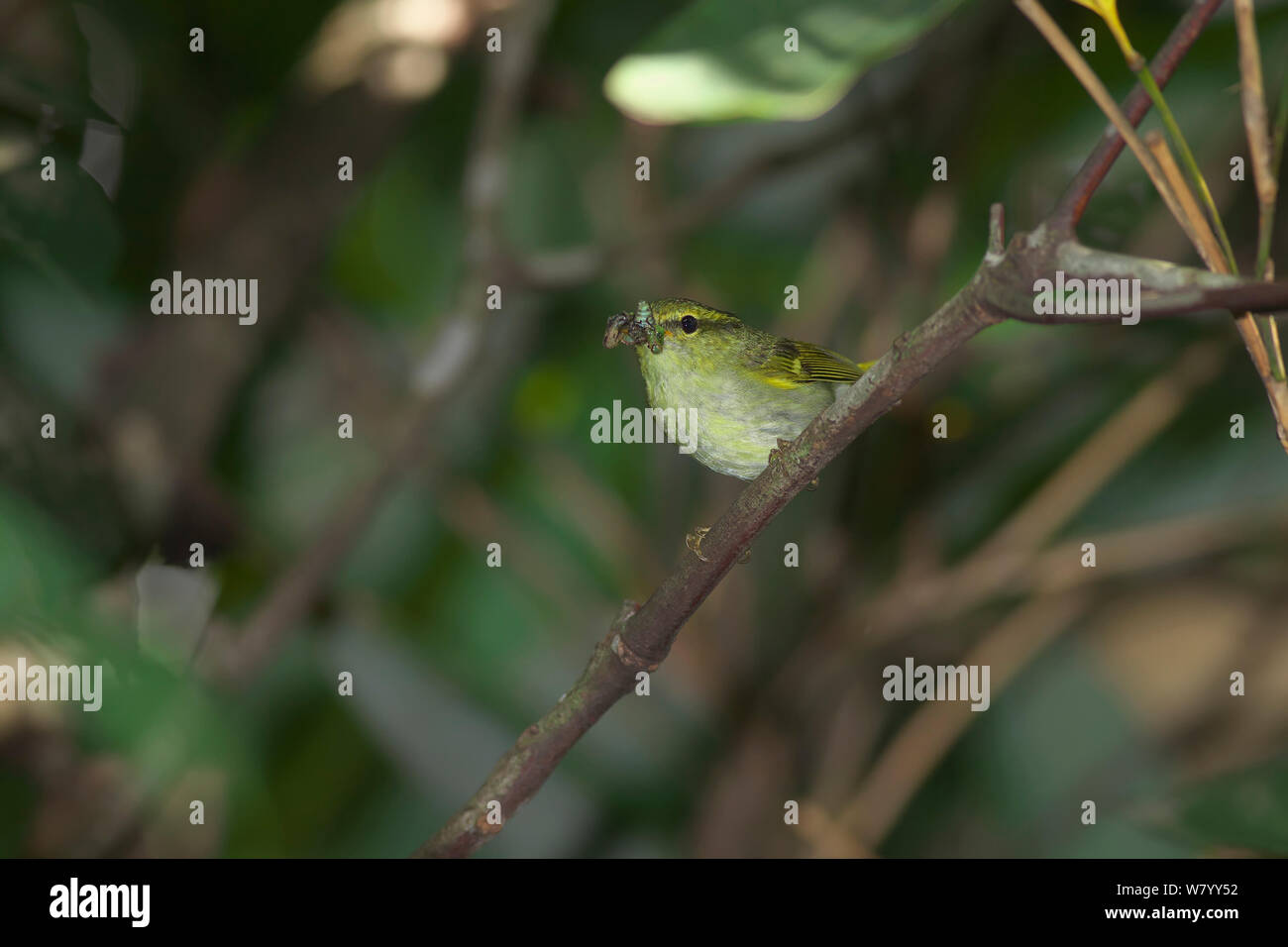 White-tailed leaf-warbler (Phylloscopus davisoni) perched with beak full of prey, DaMingShan moutain, Guangxi province, China, July. Stock Photo