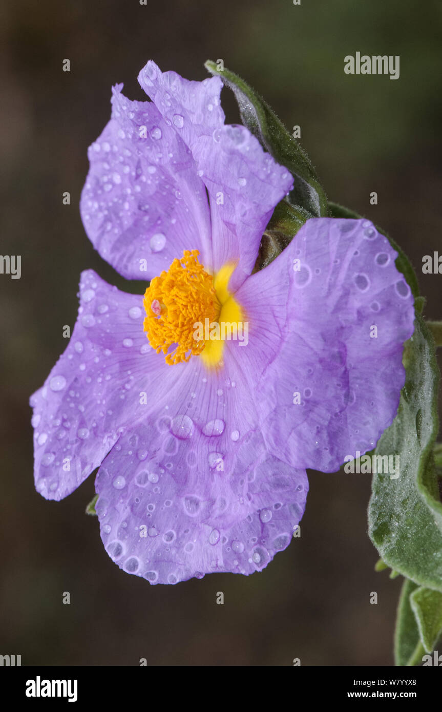 Cistus albidus the gray-leaved cistus plant with a large pink cerulean flowers with rain water droplets natural light Stock Photo