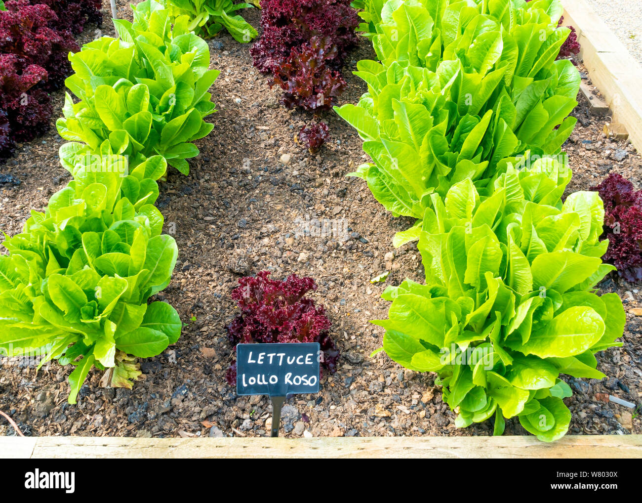 Lettuce Lollo Rosso Growing In The Edible Garden At The Walled