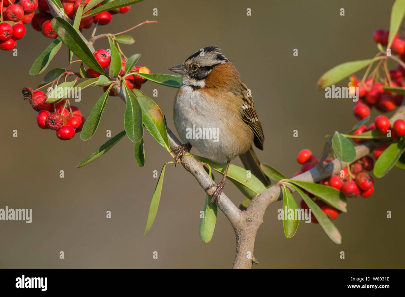 Rufous-collared sparrow (Zonotrichia capensis) perched amongst berries, Calden forest, La Pampa, Argentina. Stock Photo
