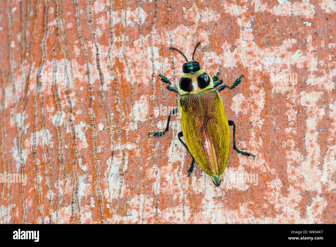 Borer Beetle Stock Photos & Borer Beetle Stock Images - Alamy