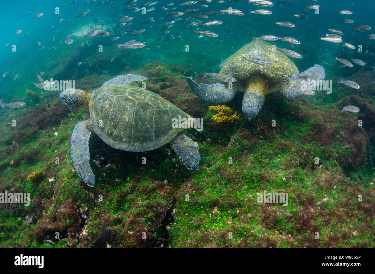 Galapagos green sea turtles (Chelonia mydas agassizi) two underwater. Galapagos. Stock Photo