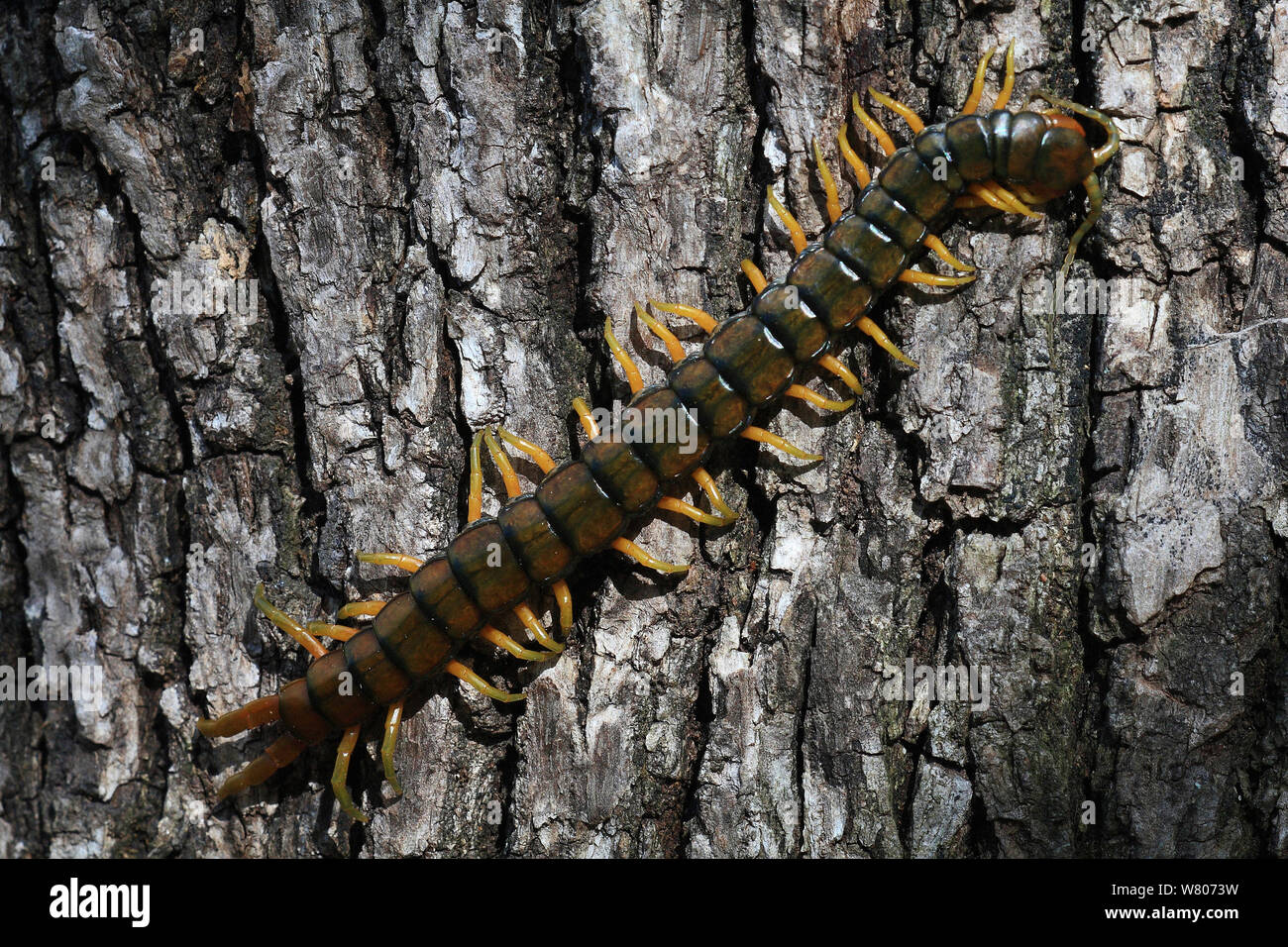 Scolopendra Centipede Stock Photos & Scolopendra Centipede