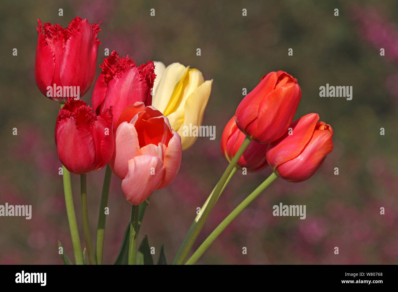 Bunch of cultivated Tulips (Tulipa sp) Carqueiranne, Var, Provence, France, March. Stock Photo