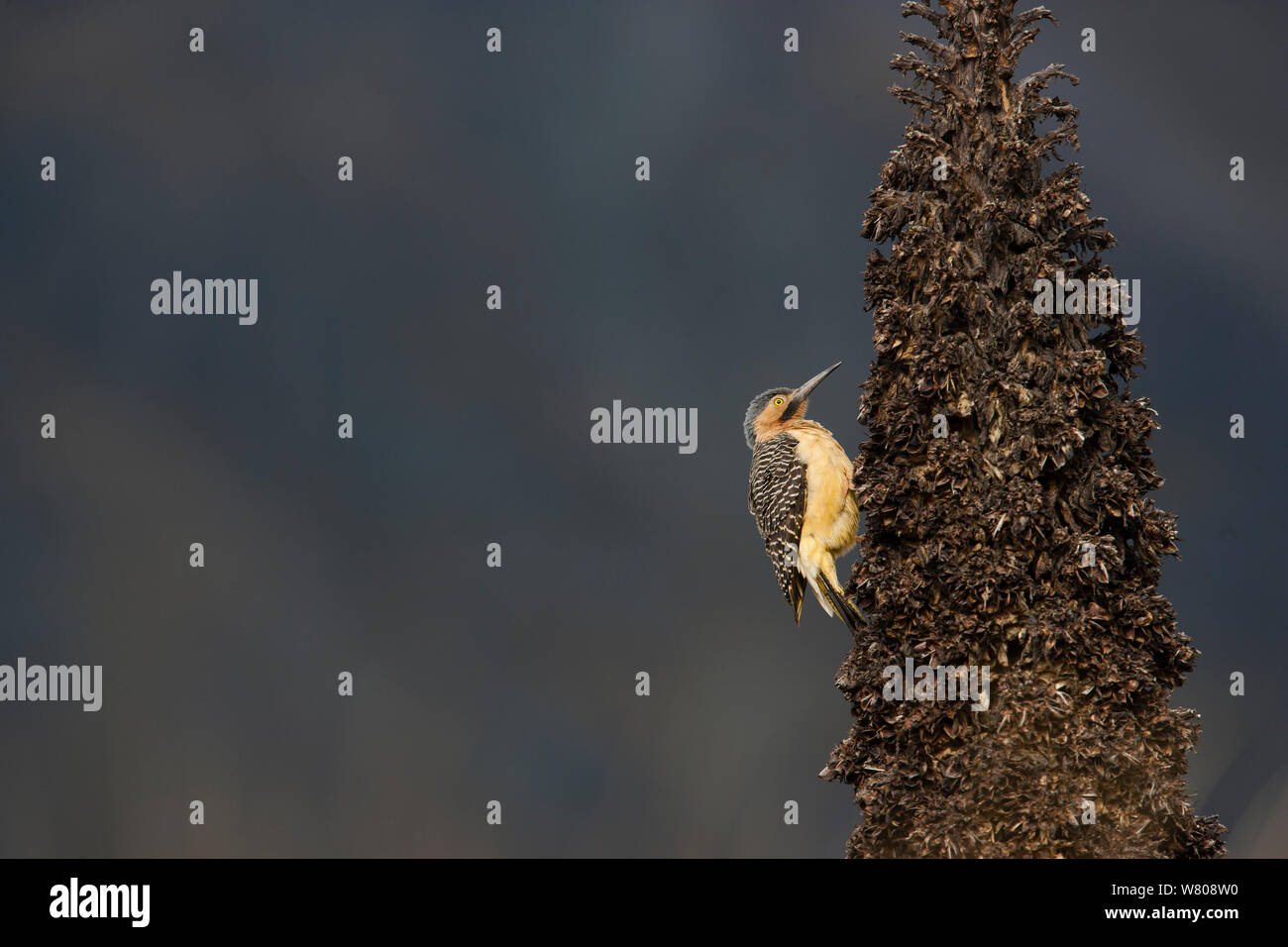 Andean Flicker (Colaptes rupicola) on trunk of Queen of the Andes (Puya raymondii) Cordillera Blanca Massif, Andes, Peru, November. Stock Photo