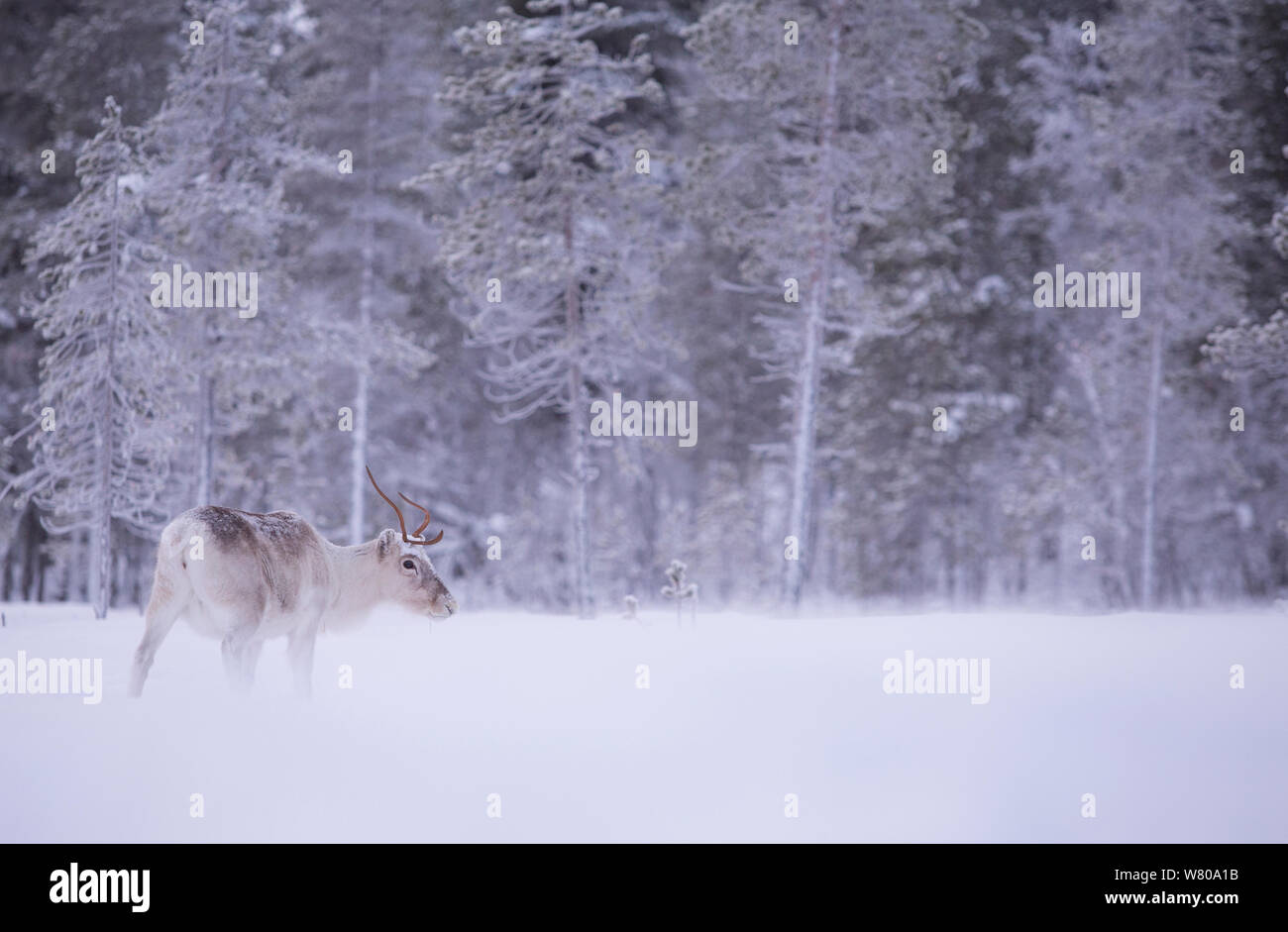 Reindeer (Rangifer tarandus) in snowy forest, Finland, January. Stock Photo