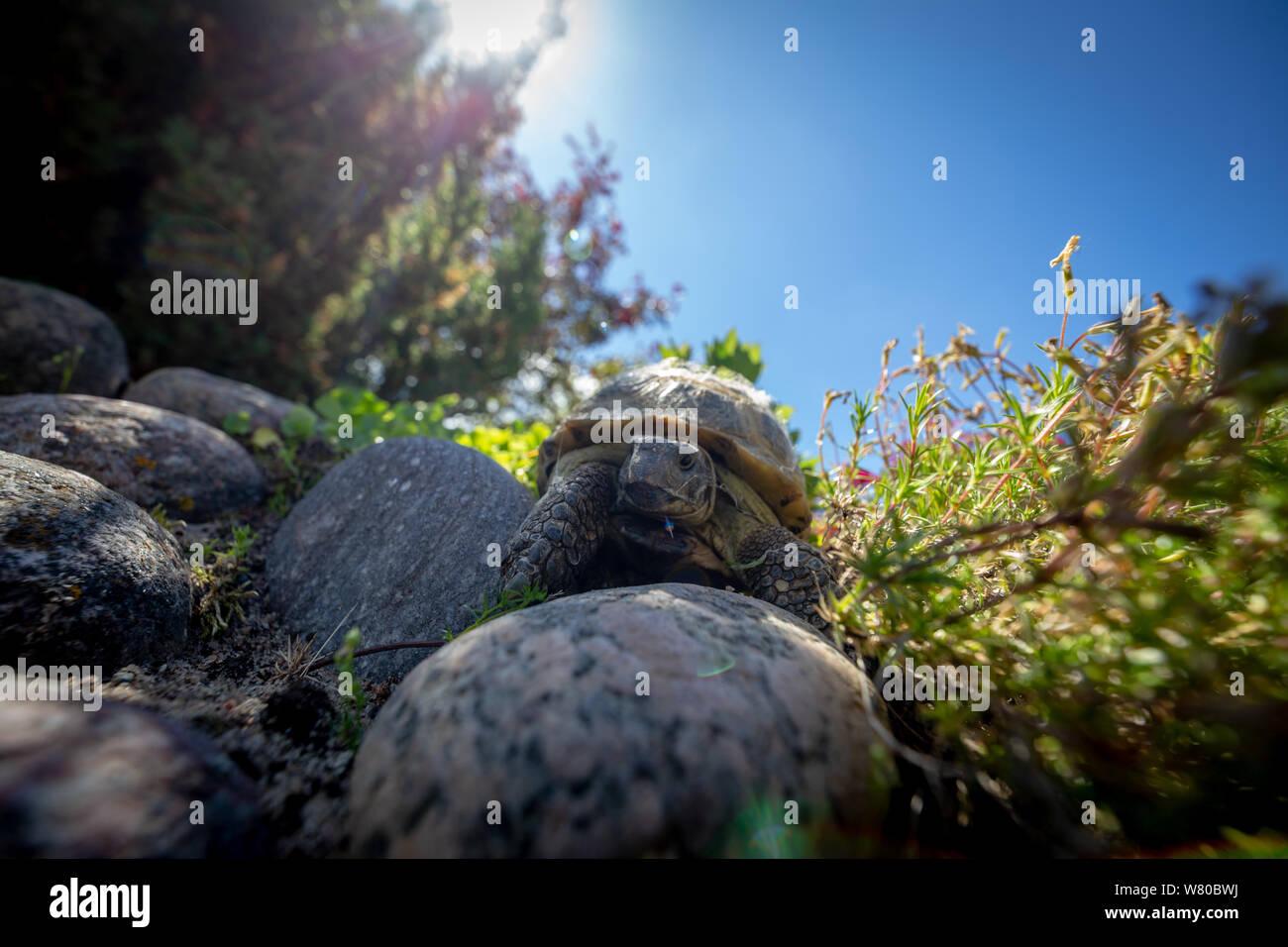 Russian tortoise exploring Stock Photo