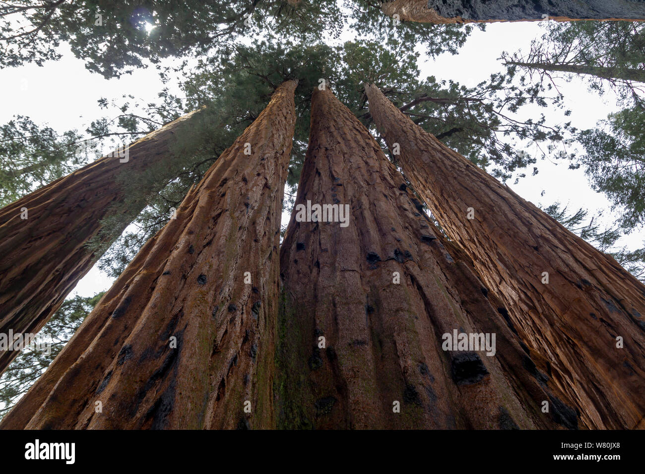Low angle shot of giant sequoias in Sequoia National Park, United States Stock Photo
