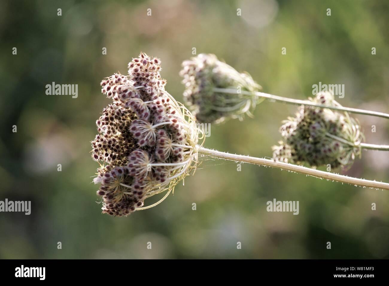 Pflanze im Spätsommer, voller Samen Stock Photo