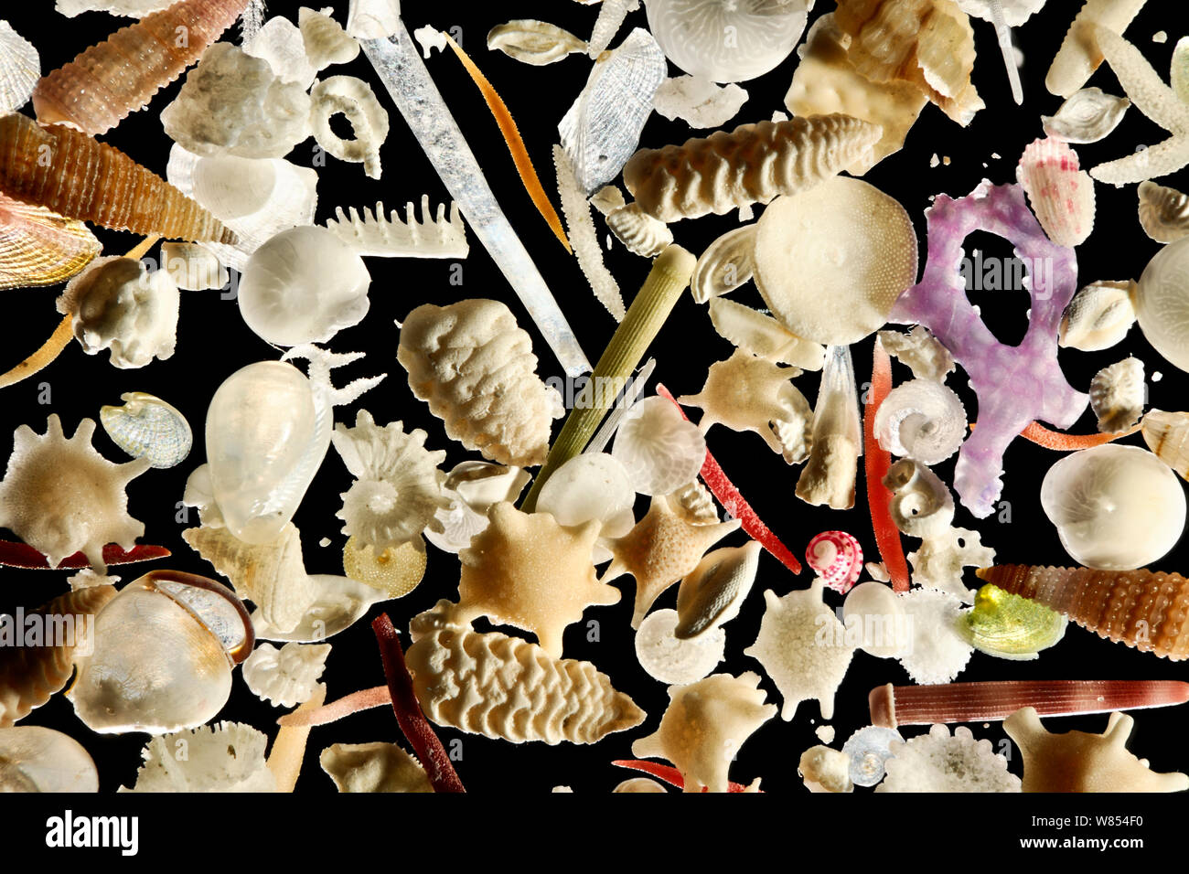 The white carbonate sand from Raja Ampat, Indonesia, is generated by a vast diversity of organisms: e.g. foraminifera, sponges, brachiopods, echinoderms, bryozoa and mollusks. Diagonal of frame approx. 8 mm  Digital focus stacking image Stock Photo