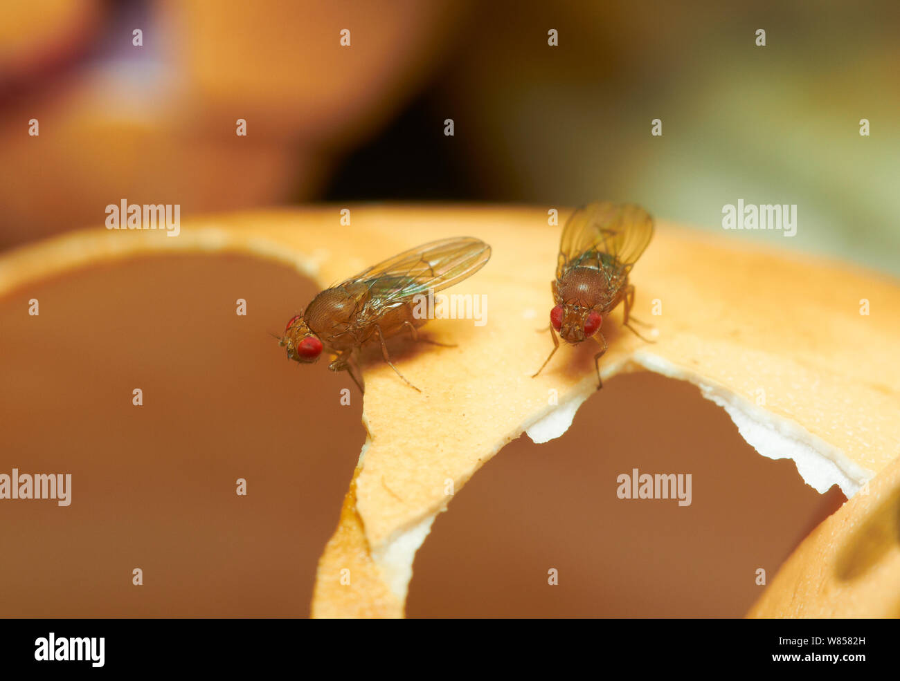 Fruit Fly Eggs Stock Photos & Fruit Fly Eggs Stock Images