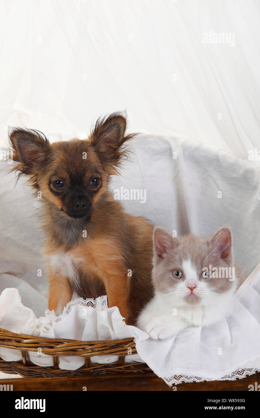 Fawn Chihuahua Stock Photos & Fawn Chihuahua Stock Images