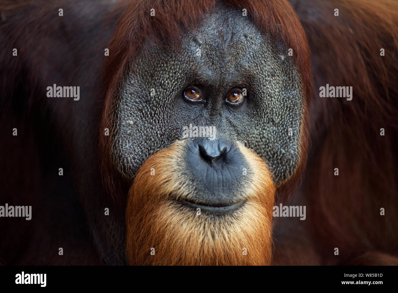 Sumatran orangutan (Pongo abelii) mature mae 'Halik' aged 26 years portrait. Gunung Leuser National Park, Sumatra, Indonesia. Rehabilitated and released (or descended from those which were released) between 1973 and 1995. Stock Photo
