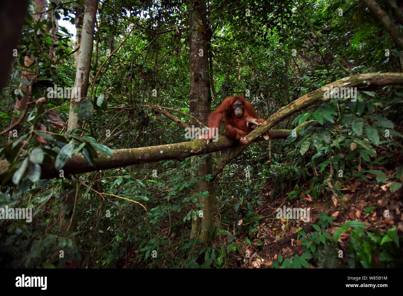 Sumatran orangutan (Pongo abelii) female 'Jaki' aged 16 years resting on a fallen tree. Gunung Leuser National Park, Sumatra, Indonesia. Rehabilitated and released (or descended from those which were released) between 1973 and 1995. Stock Photo