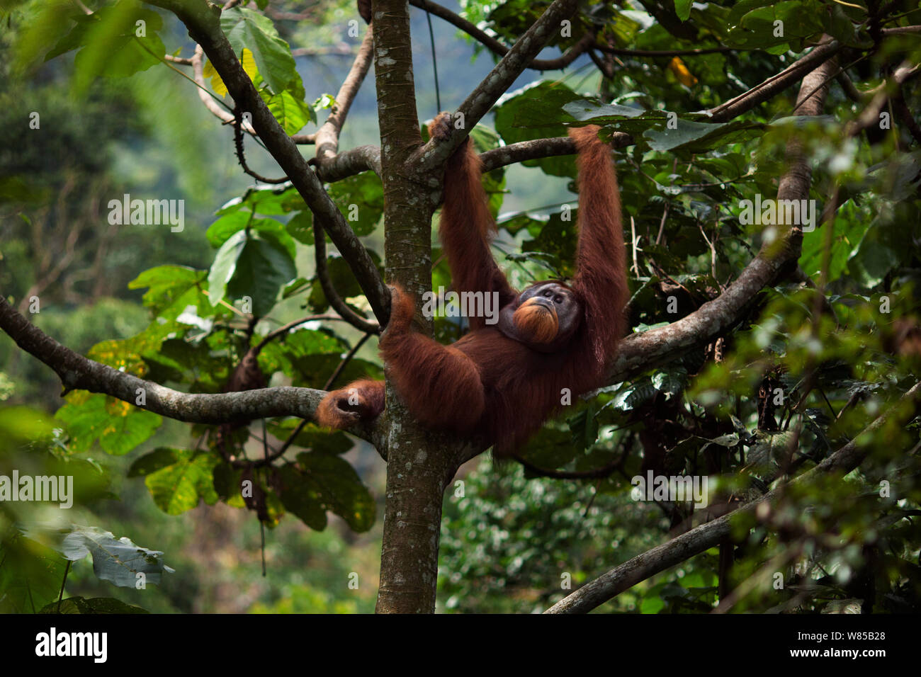 Sumatran orangutan (Pongo abelii) mature male 'Halik' aged 26 years resting in a tree. Gunung Leuser National Park, Sumatra, Indonesia. Rehabilitated and released (or descended from those which were released) between 1973 and 1995. Stock Photo