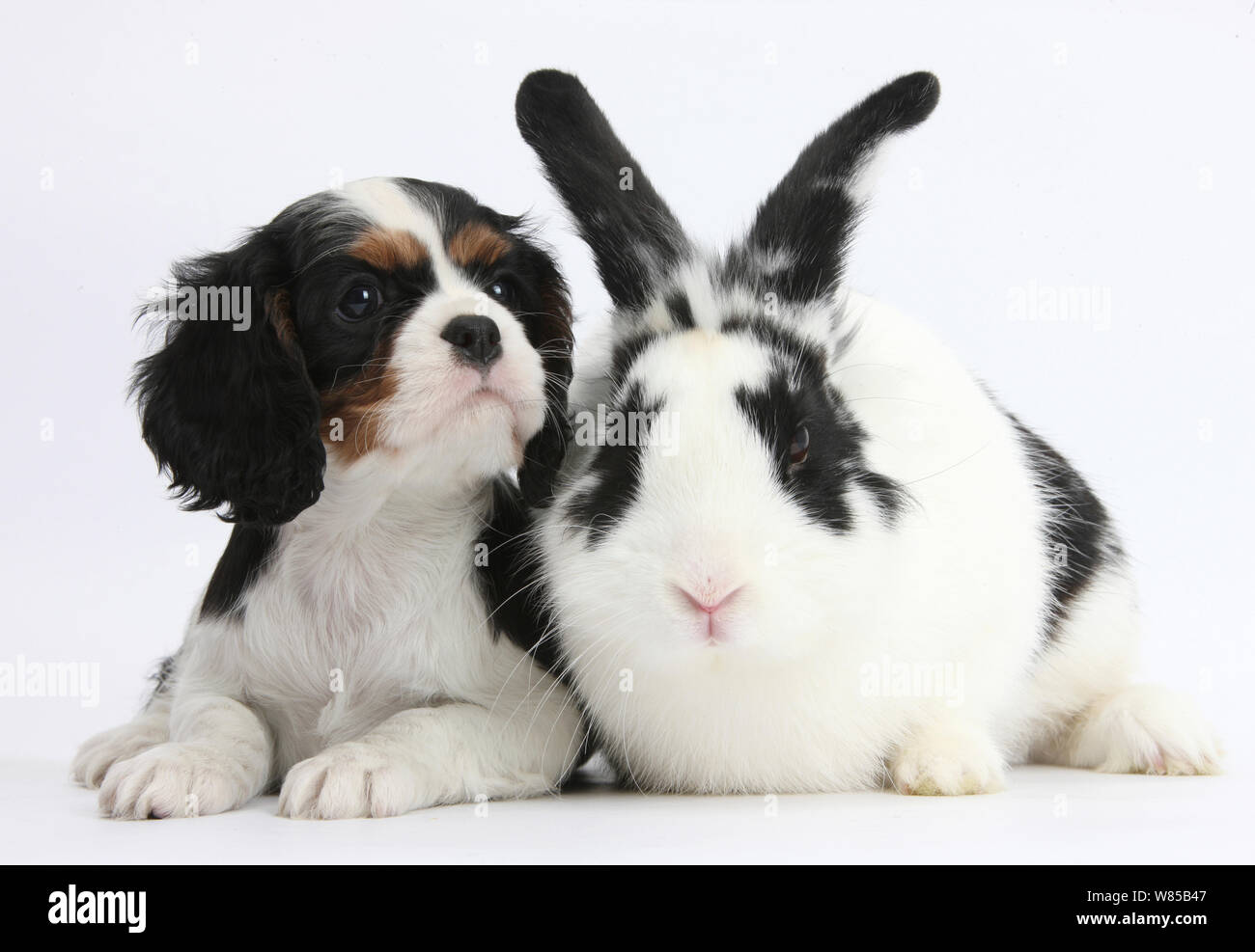 Tricolour Cavalier King Charles Spaniel Puppy With Black And White Rabbit Bandit Stock Photo Alamy