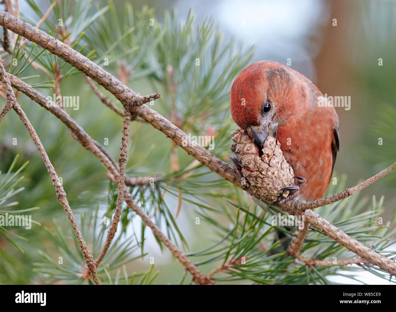 Male Parrot crossbill (Loxia pytyopsittacus) feeding, Uto, Finland, November. Stock Photo