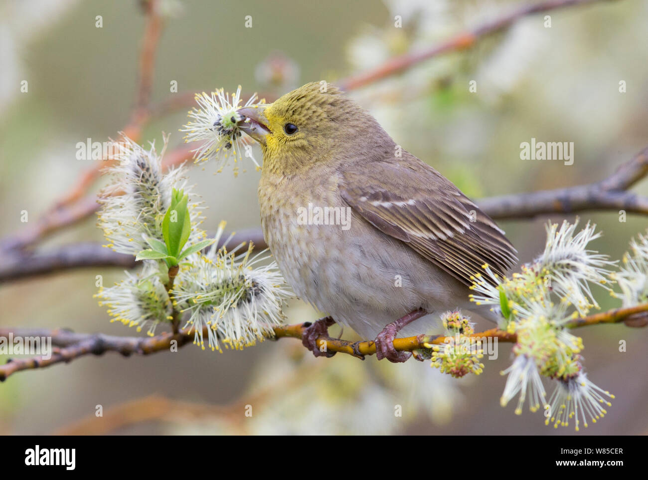 Scarlet rosefinch (Carpodacus erythrinus) feeding, head covered in Willow pollen, Uto, Finland, May. Stock Photo