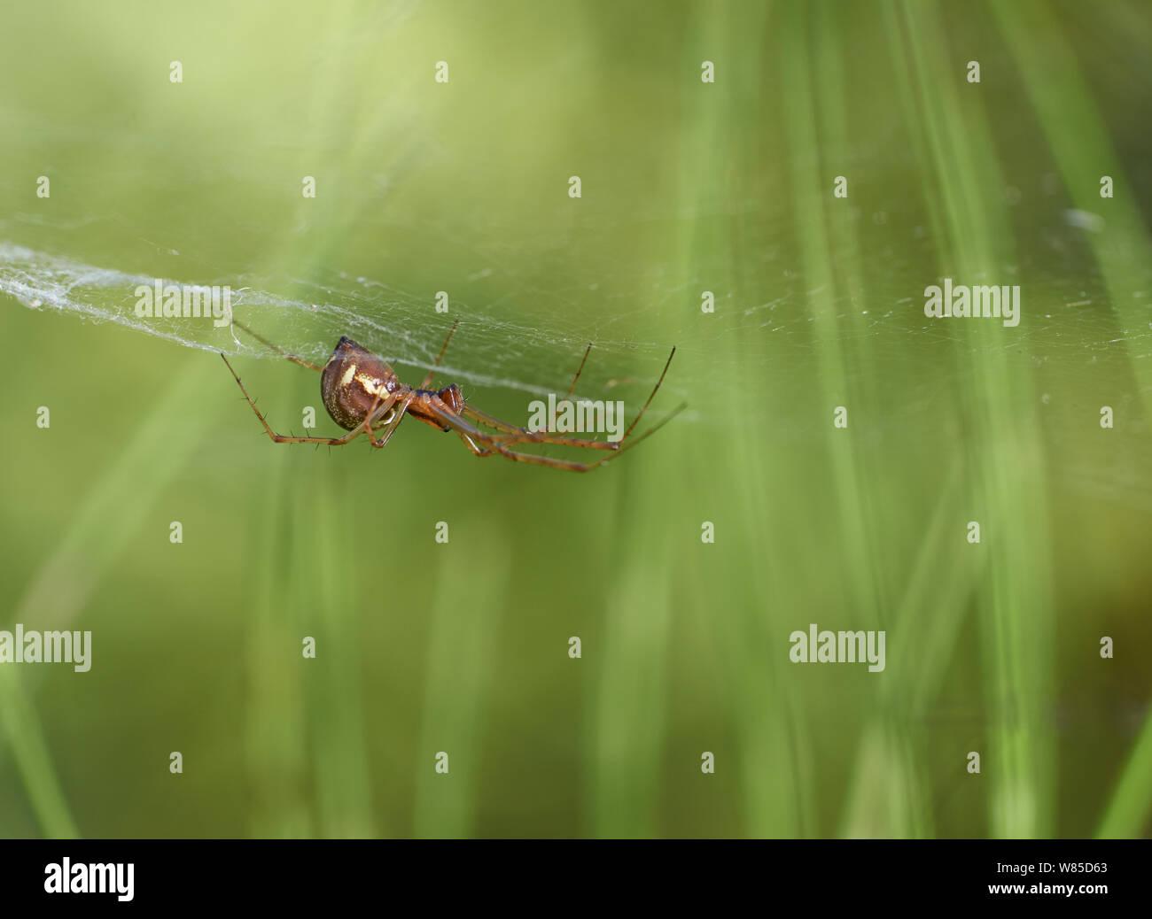 Money spider (Neriene clathrata) Sussex, England, UK, September. Stock Photo