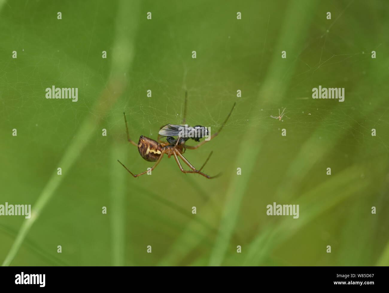 Money spider (Neriene clathrata) with fly prey, Sussex, England, UK, September. Stock Photo