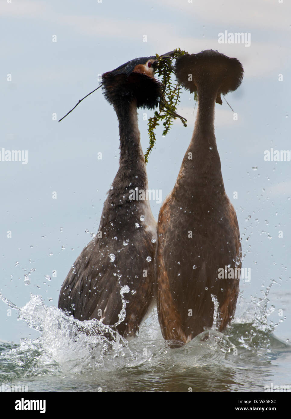 Great-crested grebe (Podiceps cristatus) performing weed dance as part of courtship display, Lake Geneva, Switzerland, March. Stock Photo