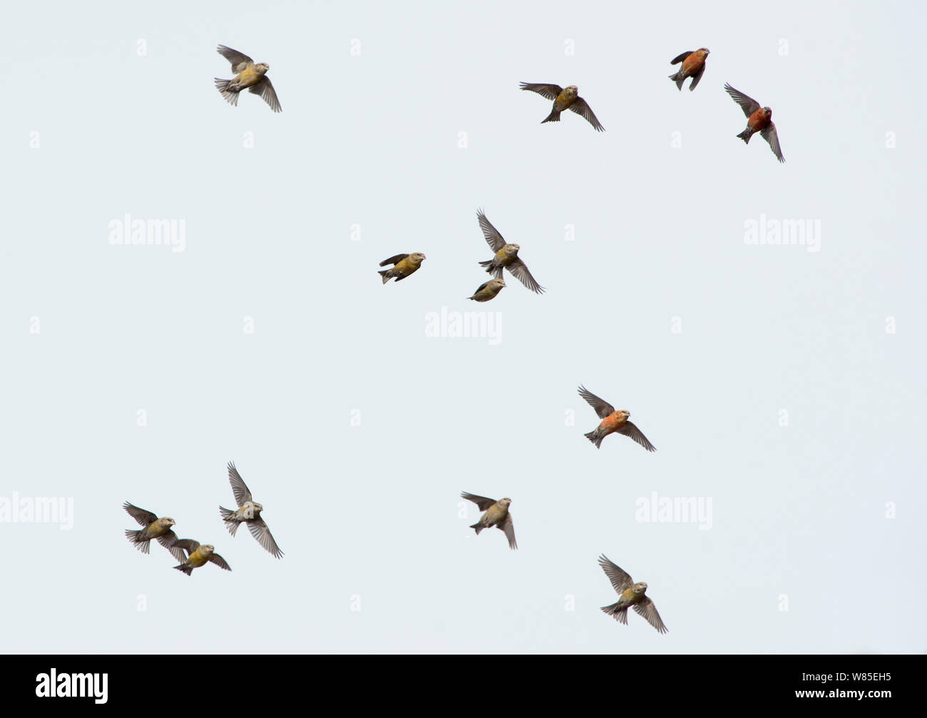 Common Crossbills (Loxia curvirostra) in flight, Holt, Norfolk, England, UK. March. Stock Photo