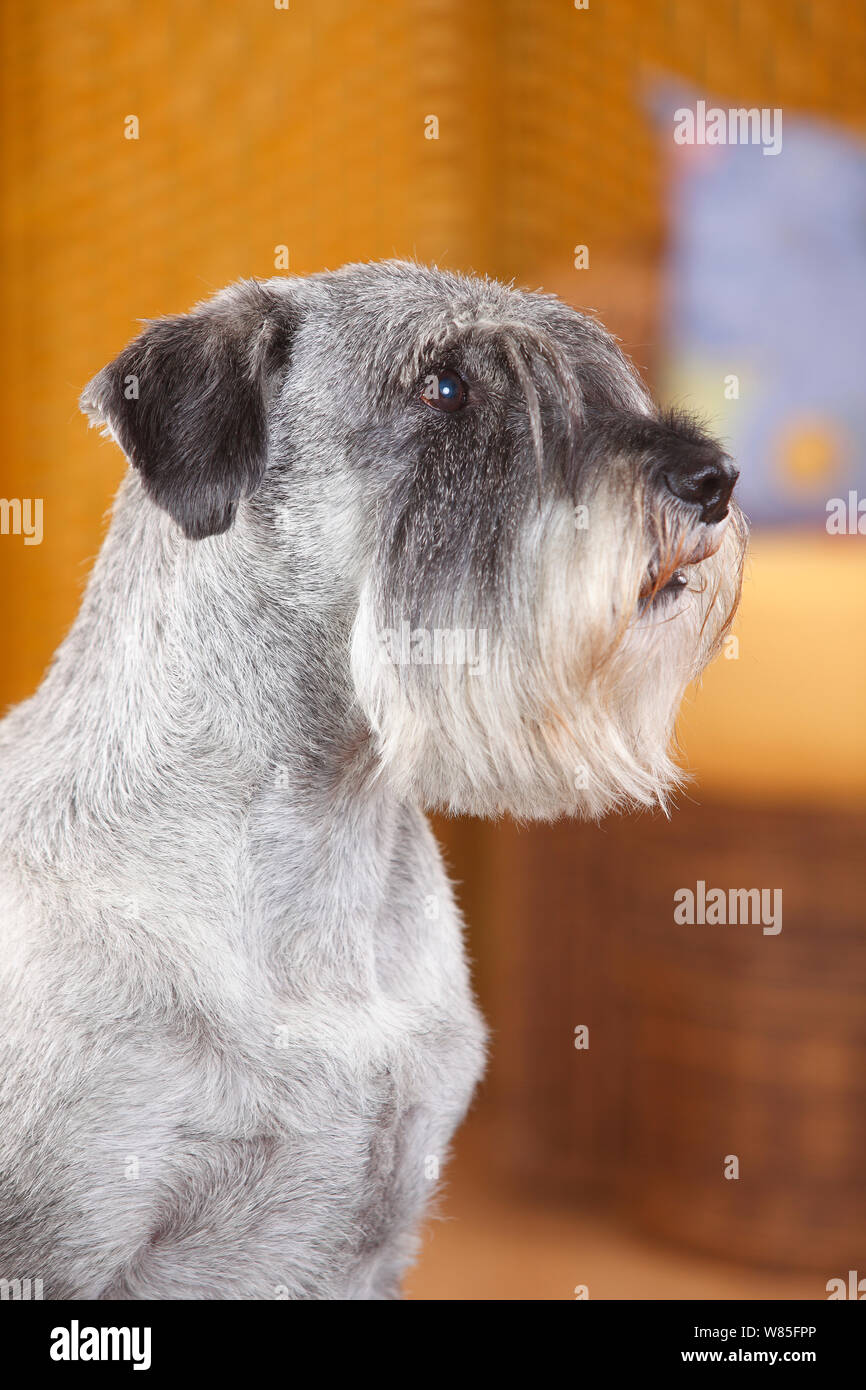 Standard Schnauzer, male age 10 years with pepper-and-salt colouration, portrait. Stock Photo