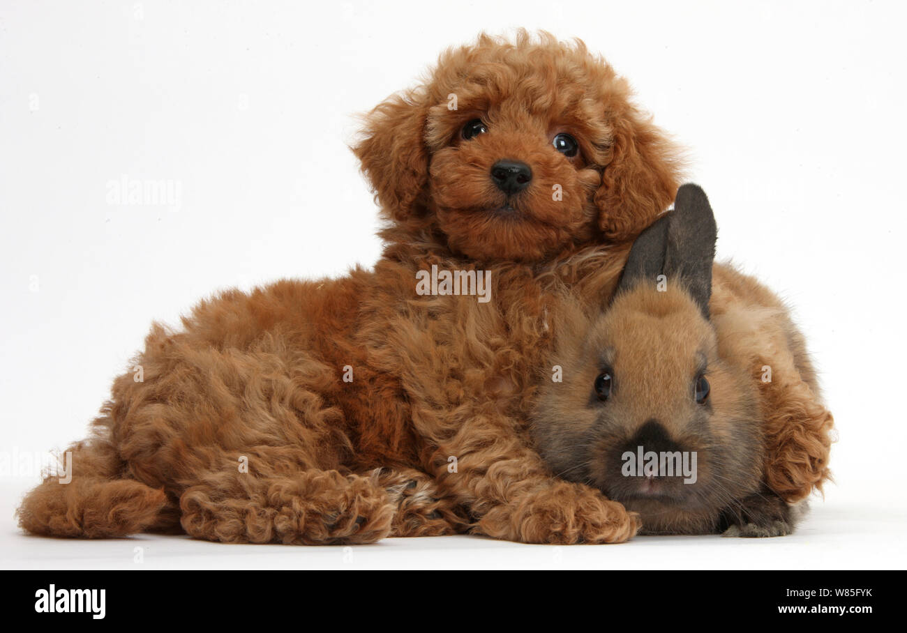 Toy Poodle Puppy High Resolution Stock Photography And Images Alamy