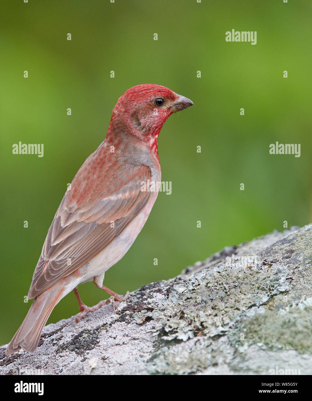 Common rosefinch (Carpodacus erythrinus) adult male Joensuu, Finland, May Stock Photo